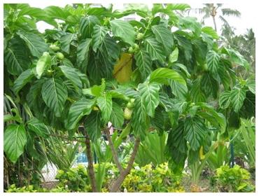 http://nhau.com.vn/uploads/useruploads/nhau_com_vn/Cay-nhau-noni-tree-noni-hanvi-hanvinoni-morinda-citrifolia-prahut-tuk-noni-nono-ach-mengkudu.jpg