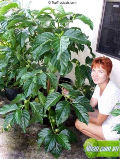 Điều kiện sinh trưởng và phát triển của cây nhàu, Phương pháp sản xuất rượu từ trái nhàu