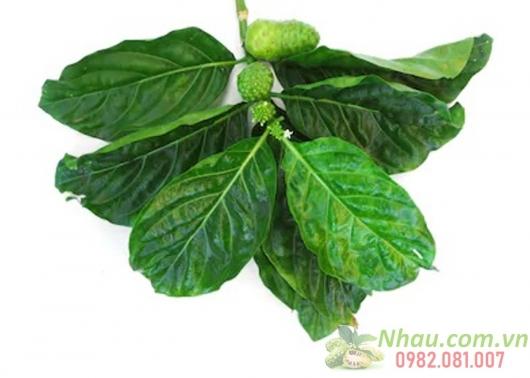 http://nhau.com.vn/uploads/useruploads/nhau_com_vn/La-nhau-green-leaves-noni.jpg