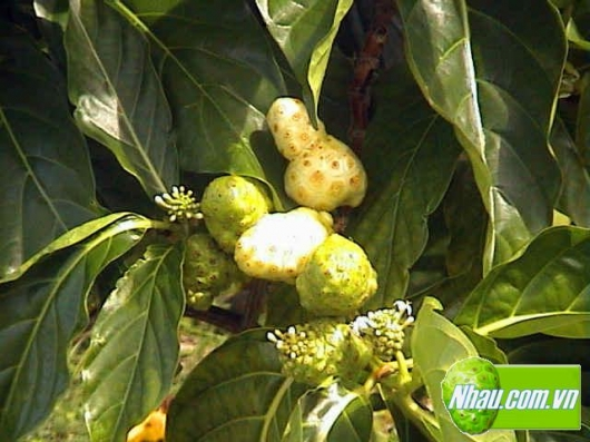 Tác dụng dược lý của CÂY NHÀU – Phần 2: Một số bài thuốc từ cây Nhàu