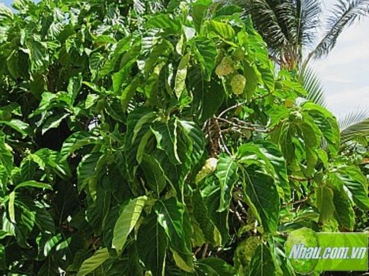http://nhau.com.vn/uploads/useruploads/nhau_com_vn/noni-fruit-in-tree-cay-nhau-noni.jpg