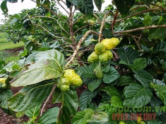 http://nhau.com.vn/uploads/useruploads/nhau_com_vn/noni-fruit-on-the-tree.jpg